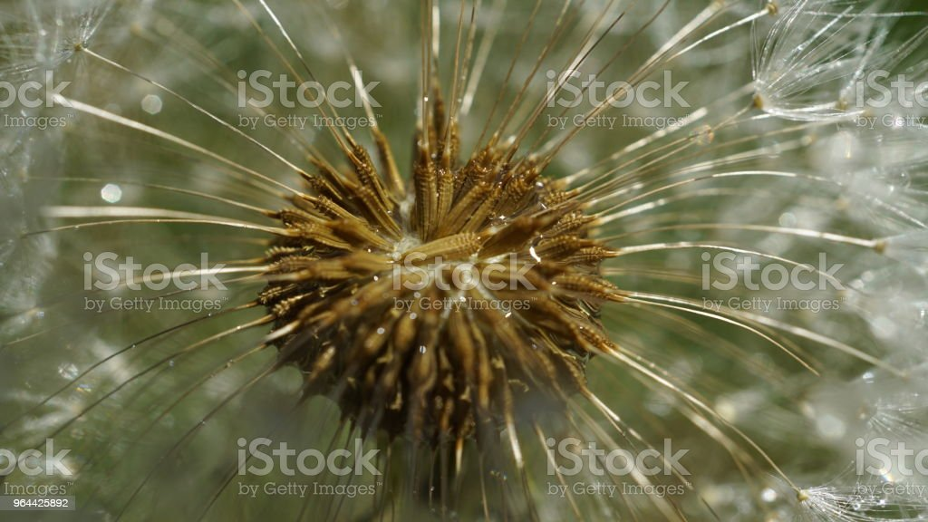 Macro Dandelion seeds - Royalty-free Abstract Stock Photo