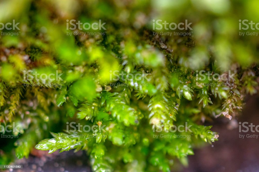 macro detail moss growing on log in forest stock photo