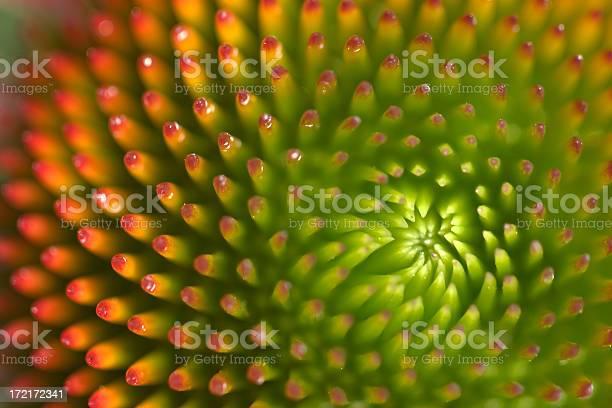 Macro Detail of Echinacea flower