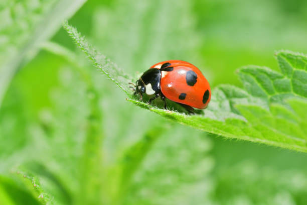 macro detail of ladybird on the green leaf stock photo