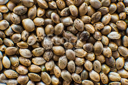 Macro detail of marijuana seed. Many Cannabis seeds. Organic Hemp seed. Close up. Hemp seeds background in macro.
