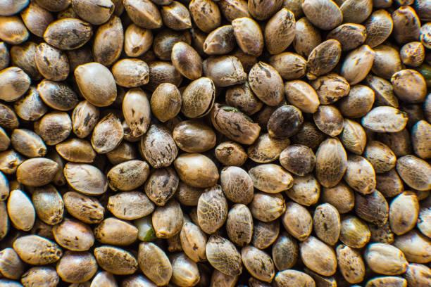 Macro detail of marijuana seed. Many Cannabis seeds. Organic Hemp seed. Top view. Hemp seeds background in macro. - foto stock