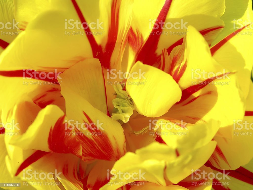Macro detail of tulip blossom royalty-free stock photo