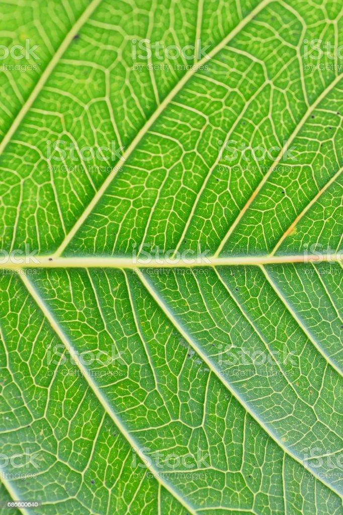 Macro details of green Peepal leaf veins in vertical frame royalty-free stock photo