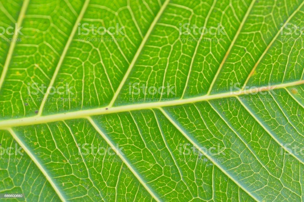Macro details of green Peepal leaf veins royalty-free stock photo