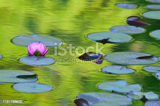 Macro details of Japanese Pink Lotus flower in pond with reflection & water ripples