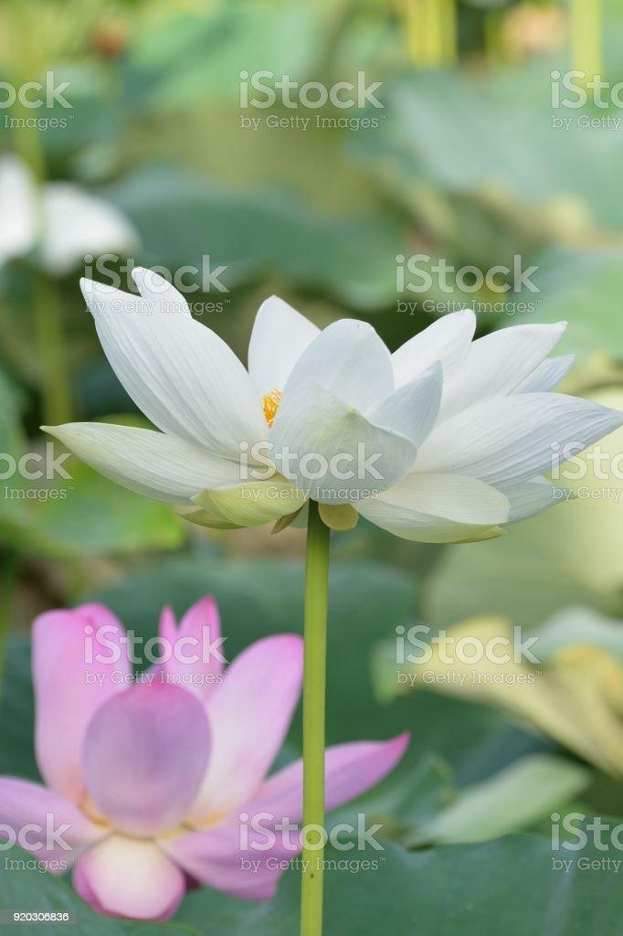 Macro details of japanese white lotus flowers at garden stock photo macro details of japanese white lotus flowers at garden royalty free stock photo mightylinksfo