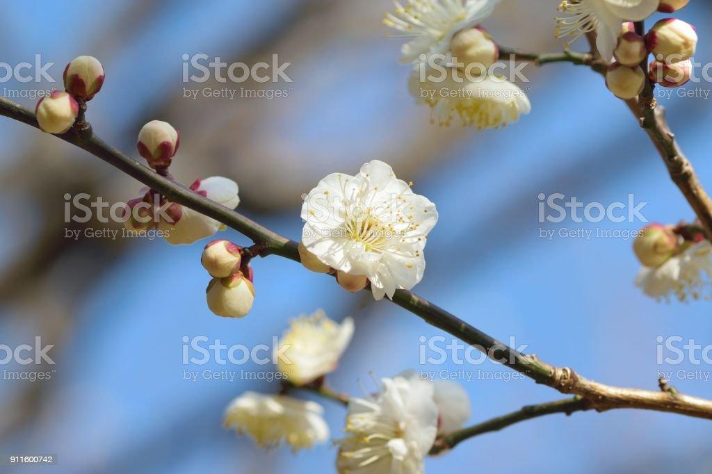 Macro details of japanese white plum blossom branches stock photo macro details of japanese white plum blossom branches royalty free stock photo mightylinksfo