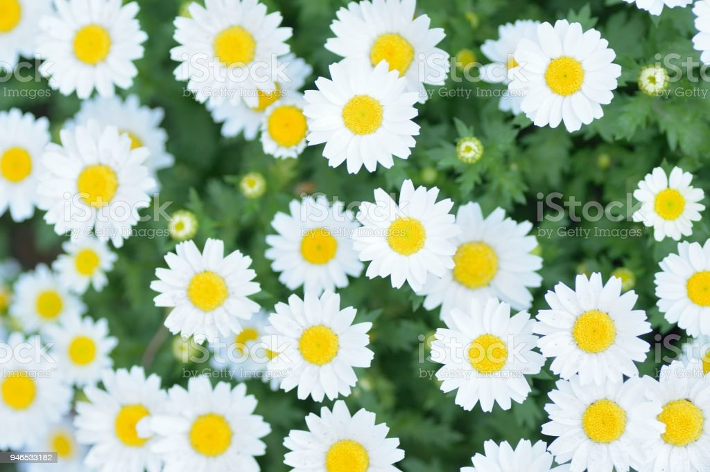 macro details of white daisy flowers stock photo more pictures of