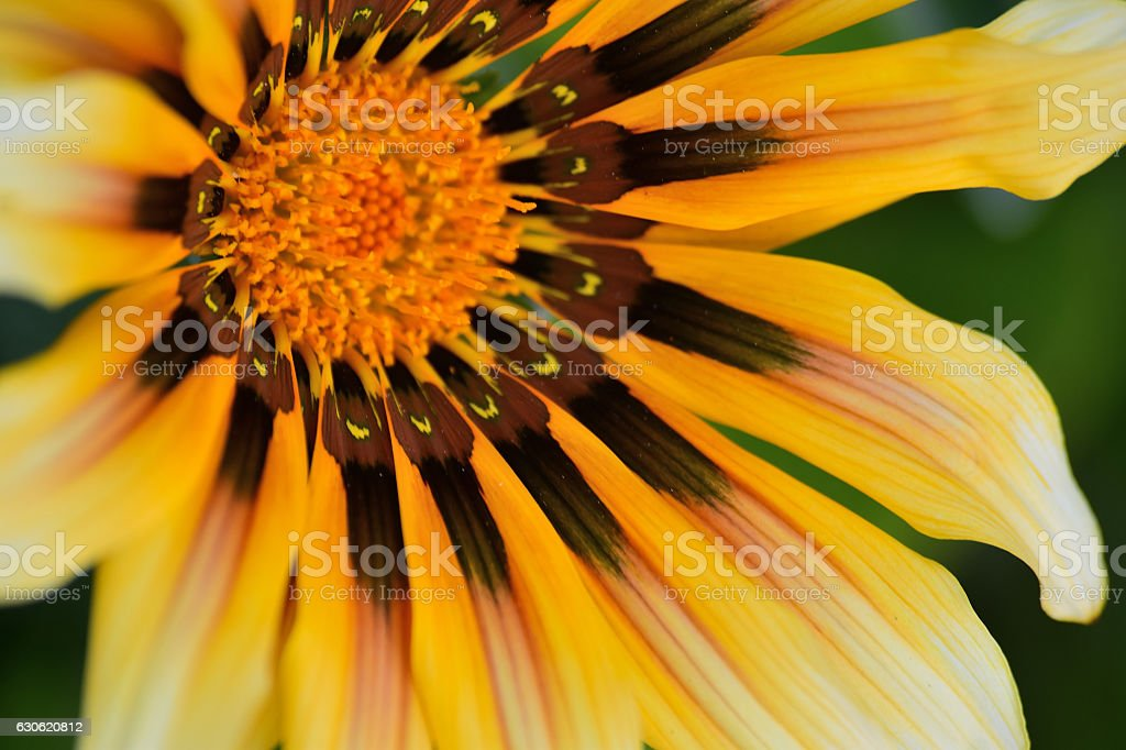 Macro details of yellow & brown Daisy flower stock photo
