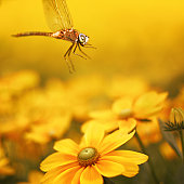Macro dragonfly with beautiful eyes and yellow daisy flower.