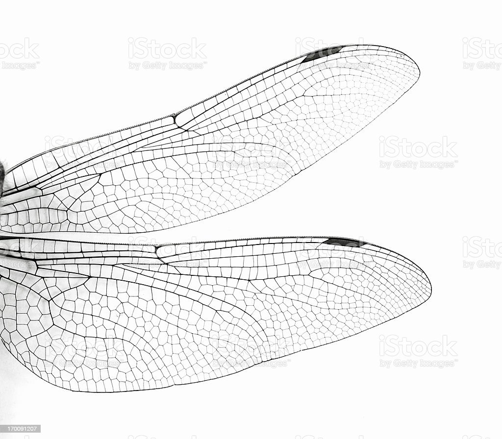 Macro Dragonfly Wings stock photo