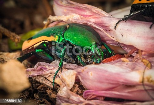 This macro image shows a fig eater beetle (Cotinis mutabilis) insect eating a wilting flower.