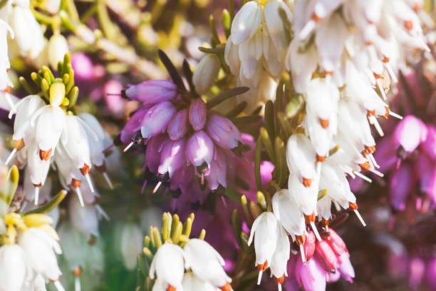 macro fiore di erica - foto di stock immagine - foto stock
