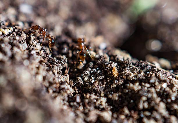 macro: fire ants work in dirt stock photo