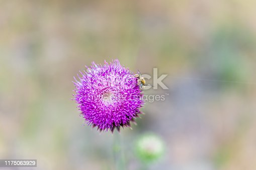 Macro flat top closeup view of pink thistle flower with bee in Canyon Rim Campground in Flaming Gorge Utah National Park