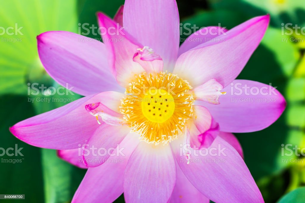 Macro Flat Top View Down Closeup Of Bright Pink Lotus Flower With