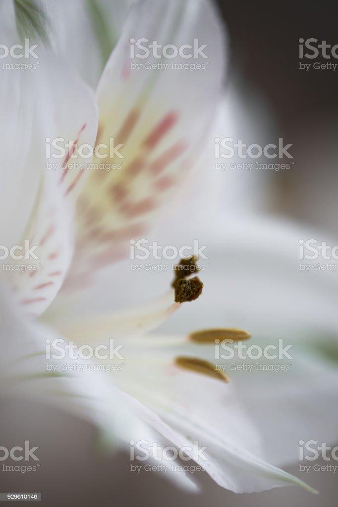 Macro flower in closeup - white alstroemeria. Delicate soft image, fine abstract art. Background, wallpaper, desktop, cover, etc. stock photo