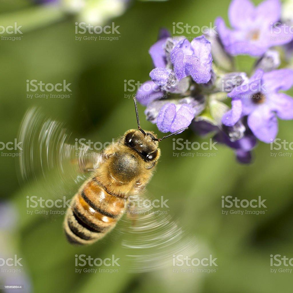 Macro Flying Honey Bee (Apis mellifera) Landing on Purple Flowers stock photo