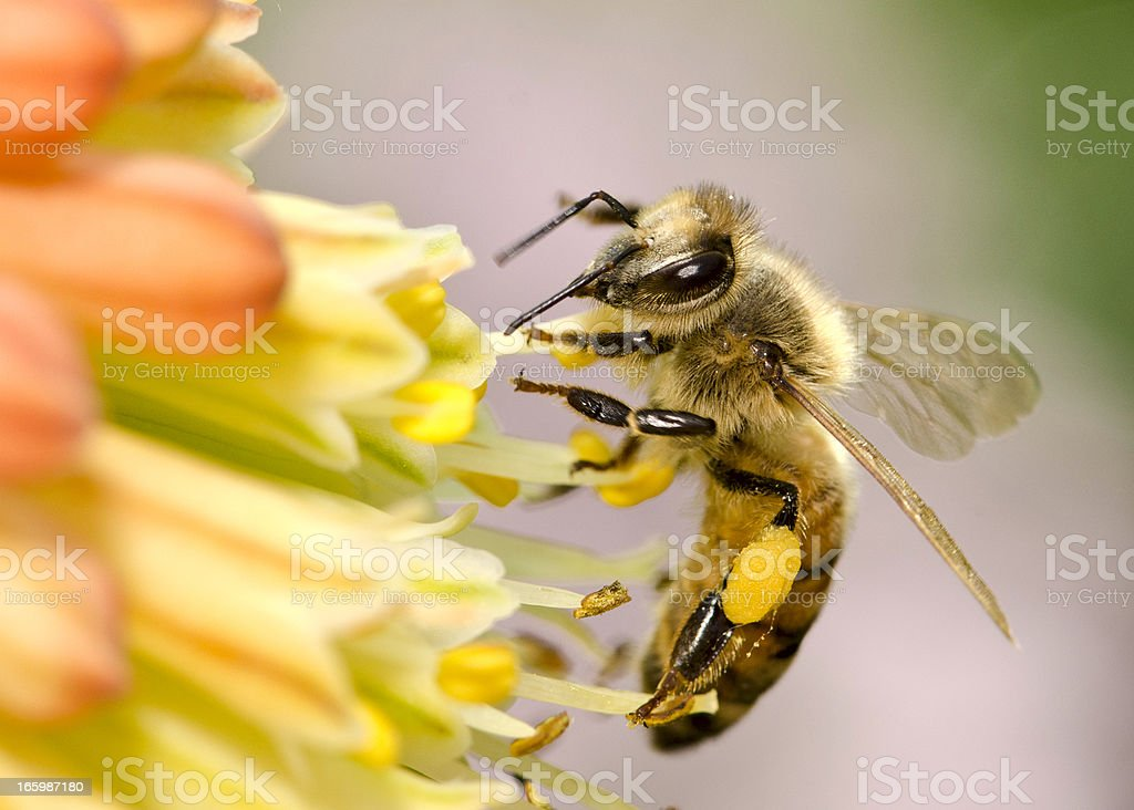 Macro Flying Honey Bee (Apis mellifera) Landing on Yellow Flowers stock photo