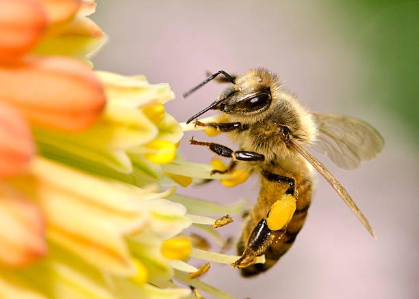 macro di miele ape vola api (mellifera) atterrare su fiori gialli - ape domestica foto e immagini stock