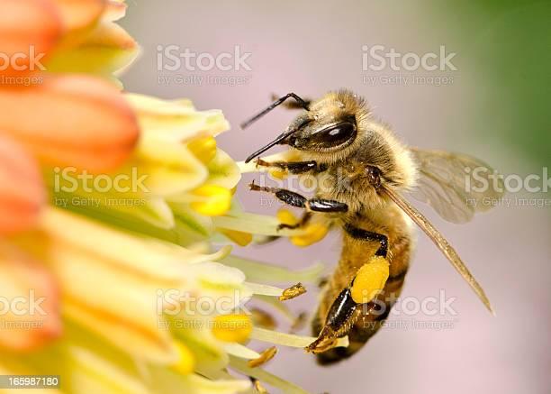 Photo of Macro Flying Honey Bee (Apis mellifera) Landing on Yellow Flowers