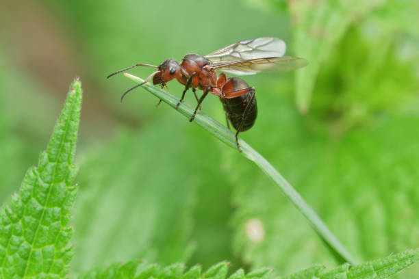 macro forest ant with wings the queen of the ant stock photo