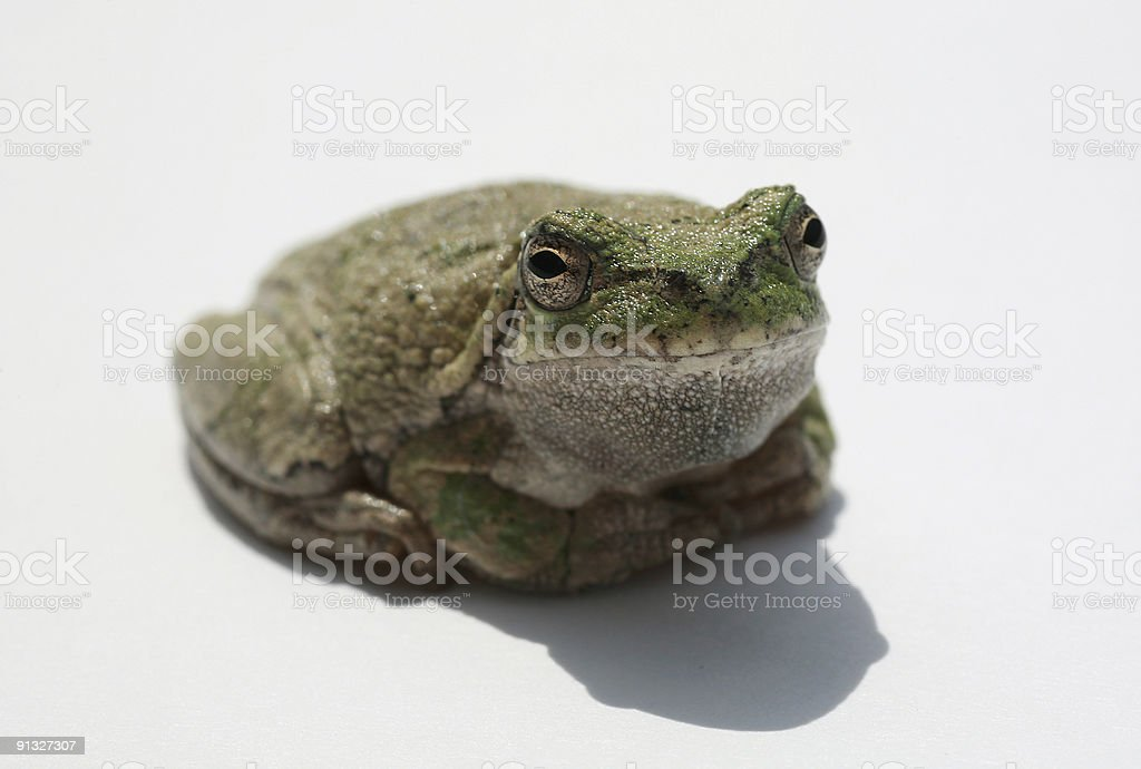 Macro Frog royalty-free stock photo