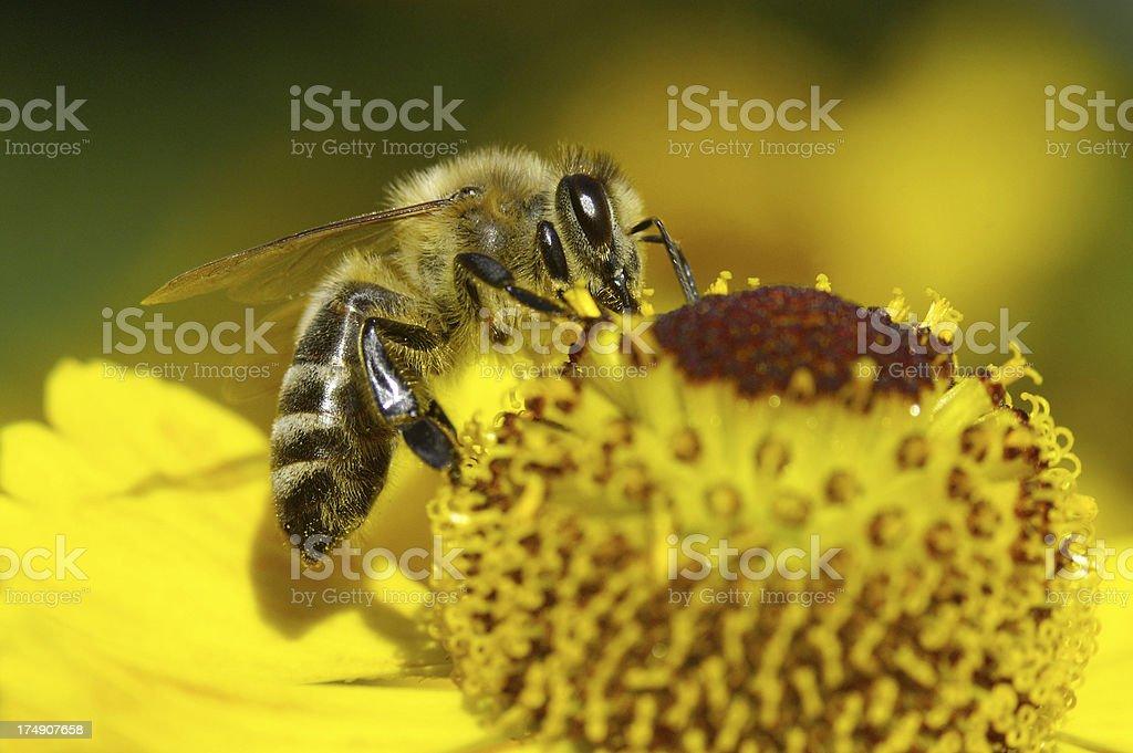 Macro de une abeille sur sun mariée - Photo