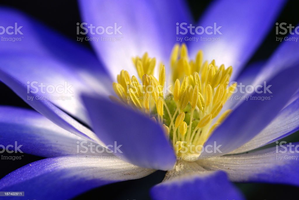 Macro from a blue anemone royalty-free stock photo
