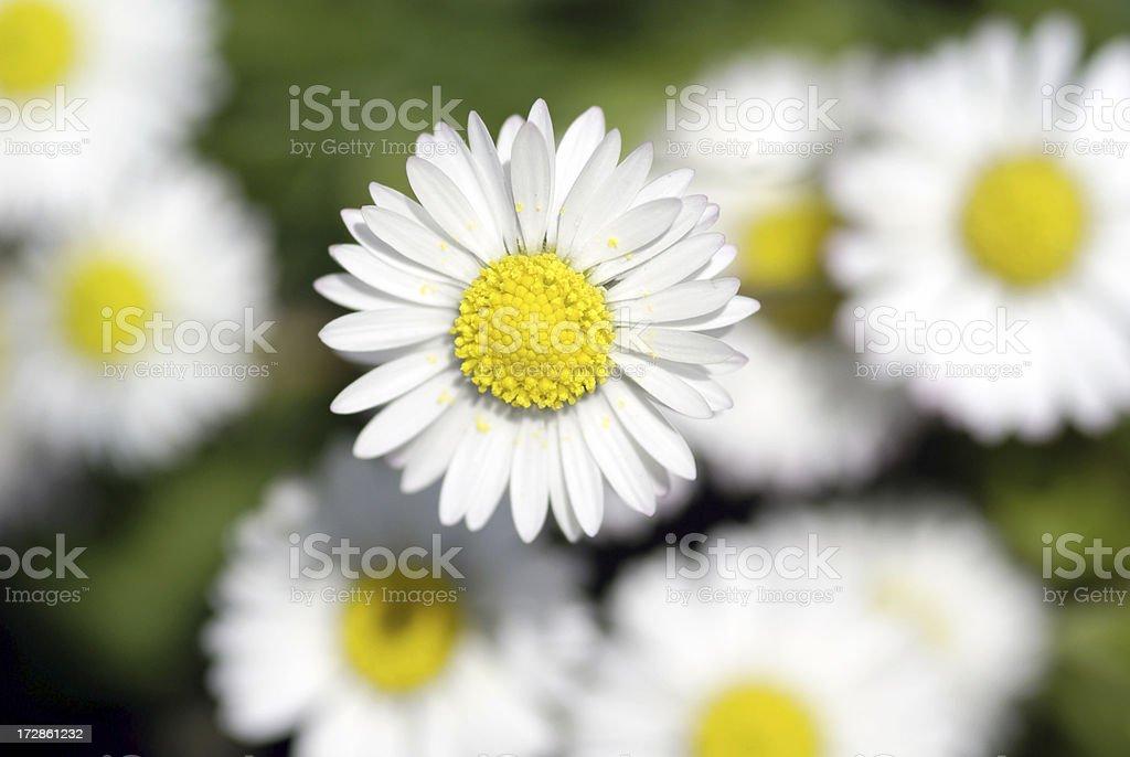 Macro from daisies royalty-free stock photo