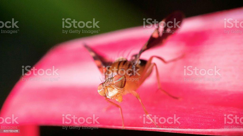 Macro - Fruit Fly stock photo
