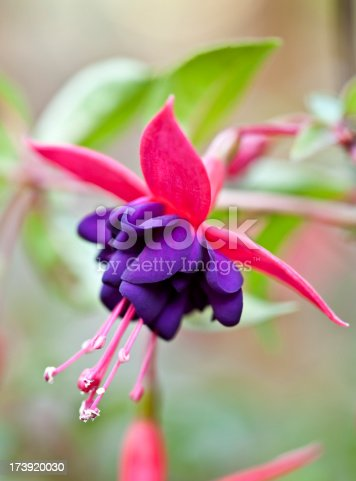 Macro shot of fuschia in full bloom
