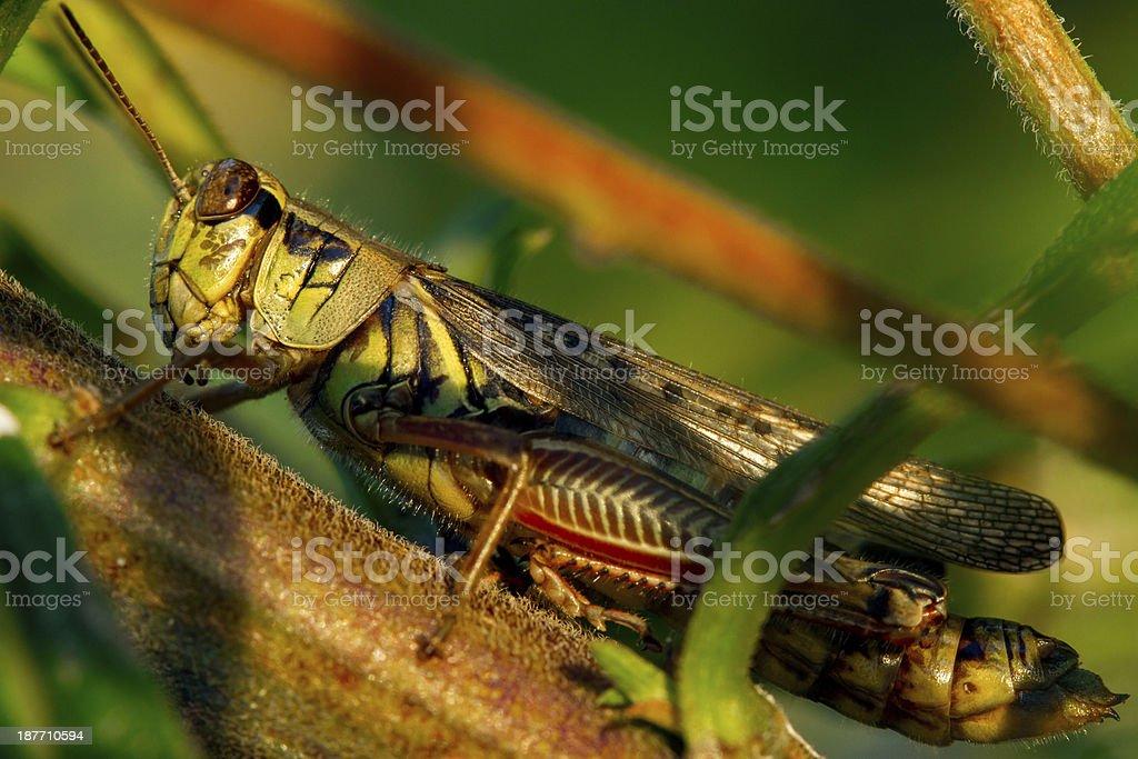 Macro Grass Hopper royalty-free stock photo