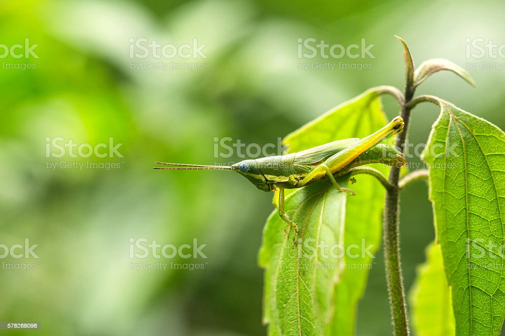 Macro Grasshopper inside a forest. stock photo