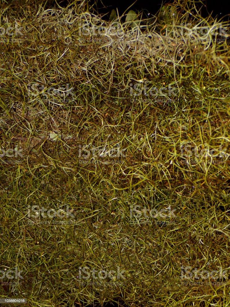 Macro Green Spanish Moss Wallpaper