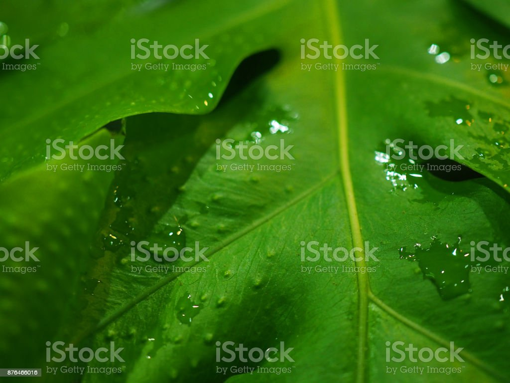 Macro green wet Breadfruit leaf bush, with rain water drops stock photo