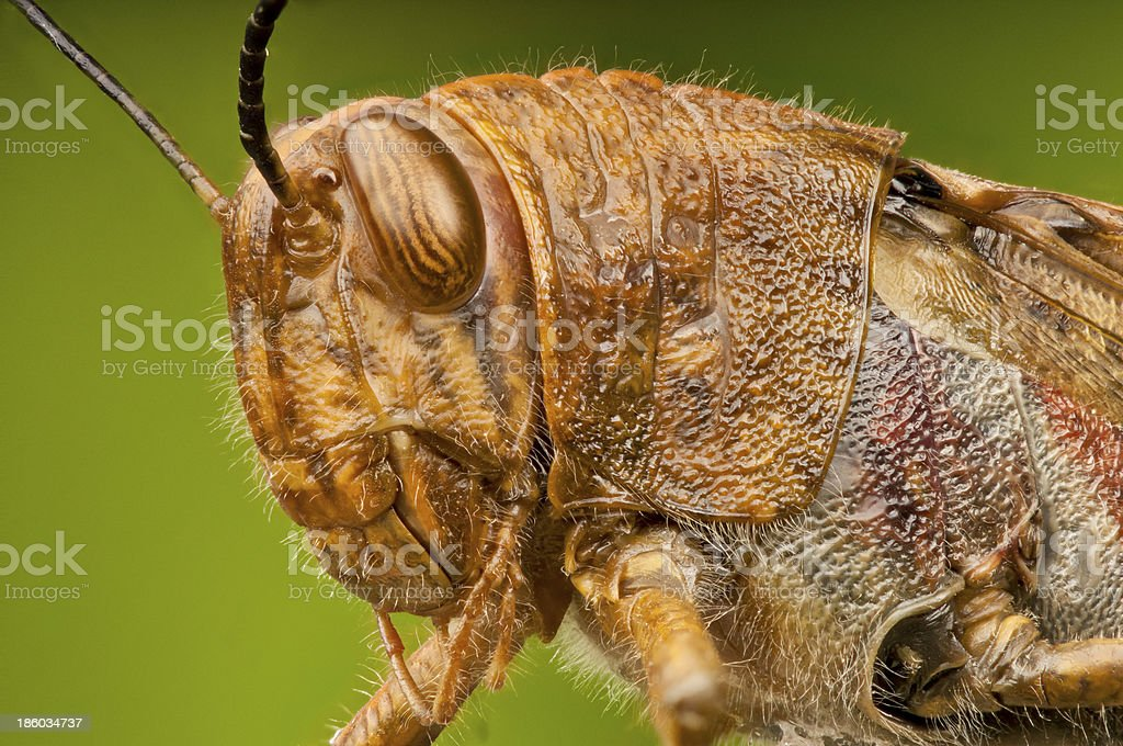 Macro head and thorax of a Grasshopper royalty-free stock photo