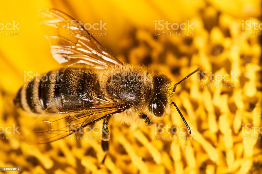 macro honey bee on sunflower stock photo