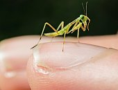 This is a macro image capture of a baby praying mantis bug sitting on a human finger.