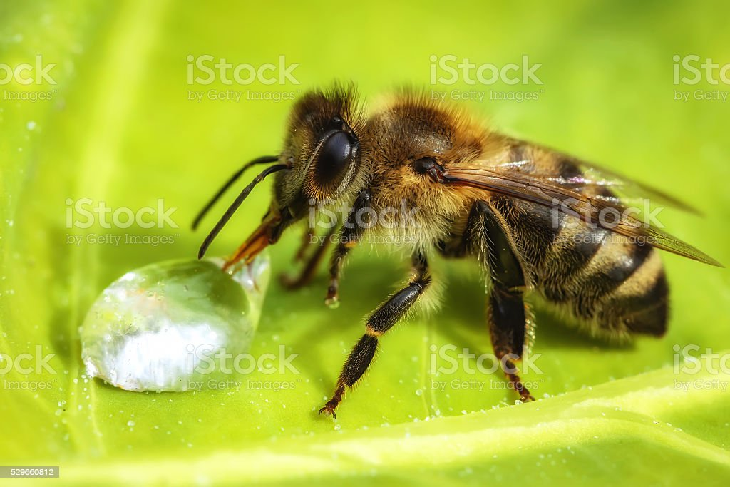 Macro image of a bee drinking a water drop stock photo