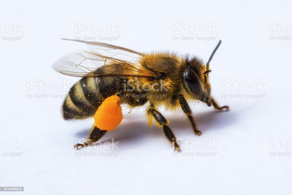 Macro image of a bee from a hive with pollen stock photo