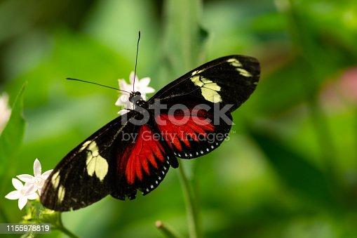 Doris Longwing butterfly in Costa Rica. Butterflies of Central America.