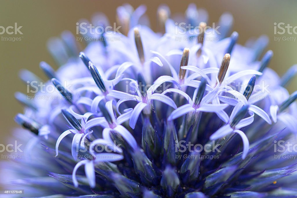 Macro image of a Globe thistle just coming into bloom. stock photo