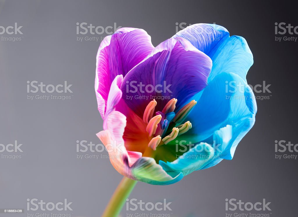 Macro image of a multi coloured tulip on grey background stock photo