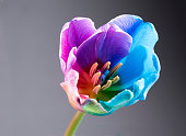 Macro image of a multi coloured tulip on grey background