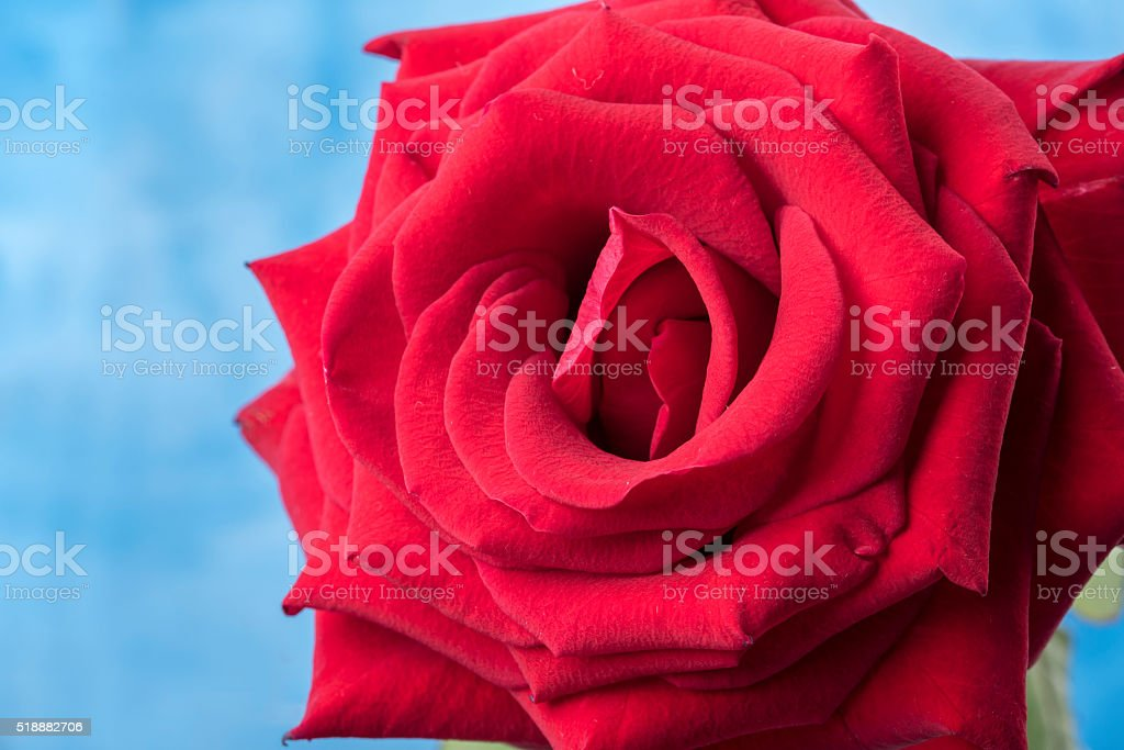 Macro Immagine Di Una Rosa Rossa Su Uno Sfondo Blu Fotografie