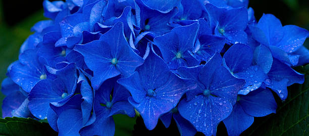 Macro image of Blue Hydrangea flower. stock photo