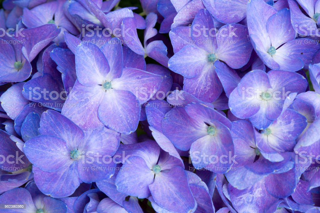 Macro image of Blue Hydrangea flower stock photo