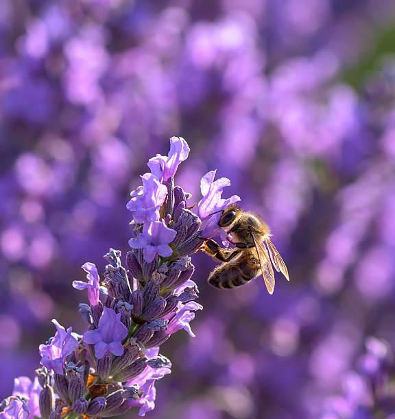 Makro Bild von Lavendel Blumen und eine Biene – Foto